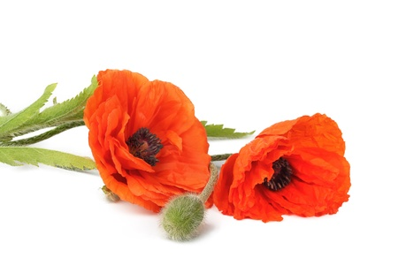 poppy leaf: Flowers poppies isolated on a white background