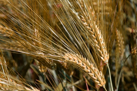 thresh: Ears of ripe wheat in field, close-up Stock Photo