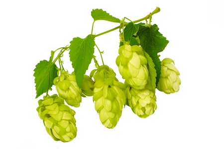 beer garden: beautiful branches hop isolated on white background Stock Photo