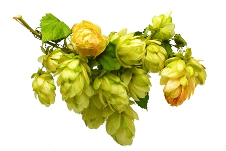 hops: beautiful branches hop isolated on white background Stock Photo