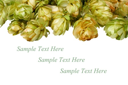 beautiful branches hop isolated on white background, place for your text photo