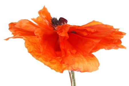 poppy flower in the wind photo