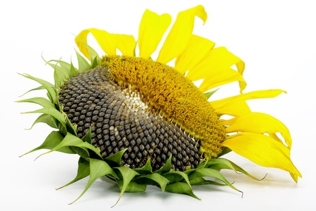 Sunflower, half cleared, isolated on a white background Stock Photo