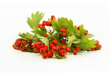 Branch with leaves and hawthorn berries, isolated