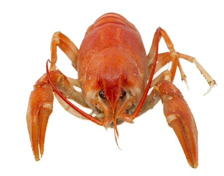 One red boiled crawfish closeup, isolated on a white background photo