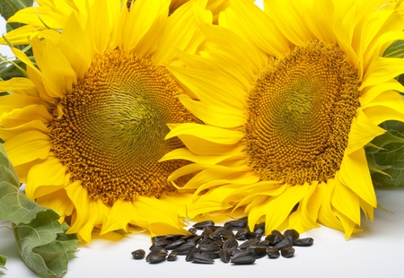 Yellow colored flowers of sunflower seeds and black photo