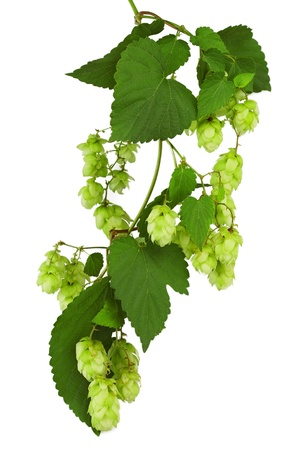 Green twig with mature cones of hop on a white background photo