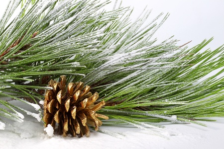 Pine branch with cones in the snow