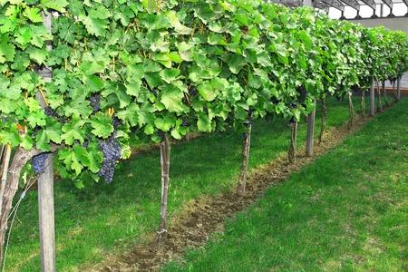 Purple grapes growing on vine. Varieties of grapes. photo