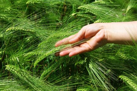 keep in touch: wheat in a hand against the background of green wheat ears