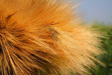 a lot of golden wheat ears on the street I sunny summer day Stock Photo