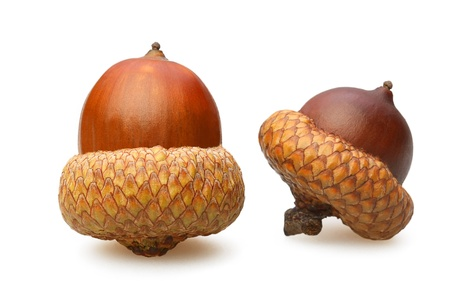 The two acorn brown closeup on white background Stock Photo
