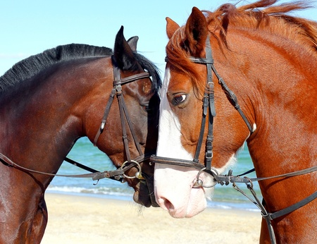 head in the sand: Portrait of two thoroughbred horses on the beach  Stock Photo