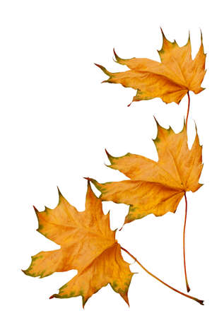 dried yellow maple leaves isolated on white background photo