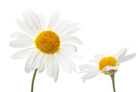 chamomile flowers in isolation photo