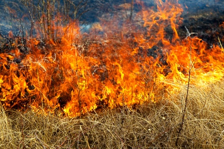 burning bush: Dry grass burning in the forest, spring day, strong wind
