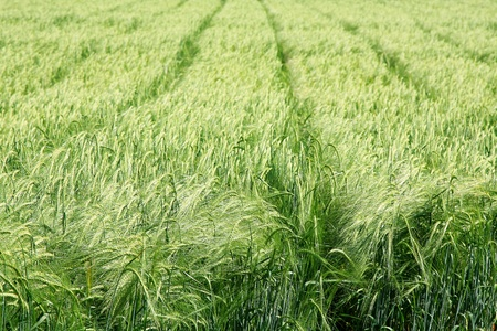 The green field of wheat  Breeding, cultivation of elite cultivars of wheat, barley photo