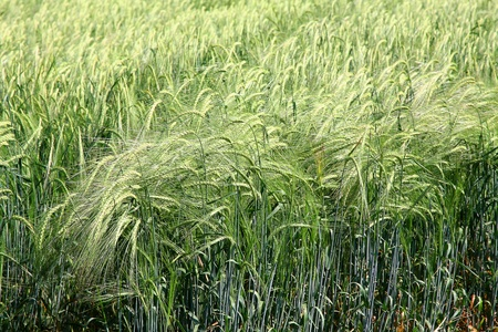 The green field of wheat. Breeding, cultivation of elite cultivates of wheat, barley photo