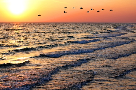 Seascape with a flock of ducks in flight at sunset photo