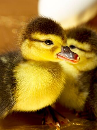 A fluffy yellow duckling hatched from eggs Stock Photo - 13621403
