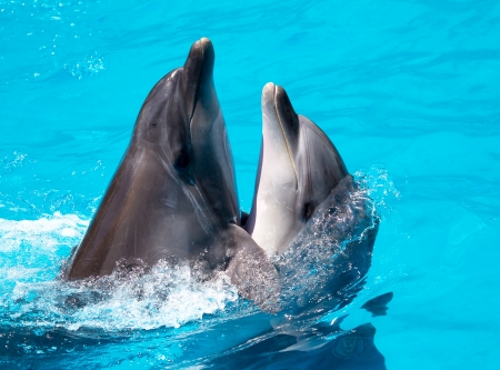 Two dolphins swim in the pool photo