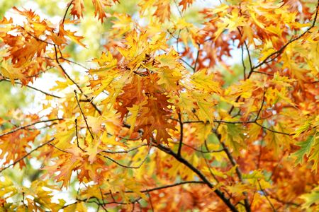 Background of bright yellow and red leaves in autumn, outdoors on a sunny day Stock Photo - 15389469