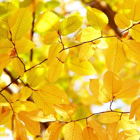 Background of bright yellow leaves in autumn, sunny day Stock Photo - 15466982