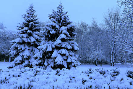 Winter landscape, spruce in a snowy park. Blue tones. photo