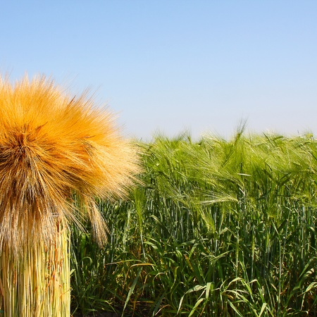 The green field of wheat. Breeding, cultivation of elite cultivars of wheat, barley Stock Photo - 18688703