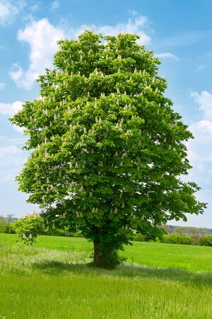 buckeye flower: Blooming chestnut tree with white flowers and blue sky
