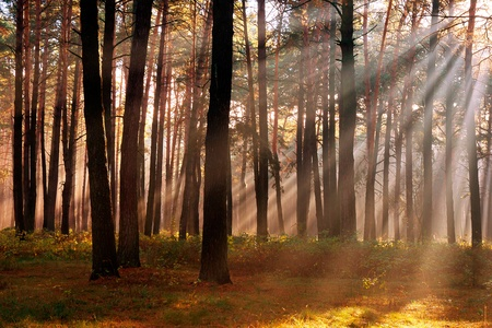 The sun's rays breaking through the trees in the pine forest in autumn season Stock Photo - 19013919