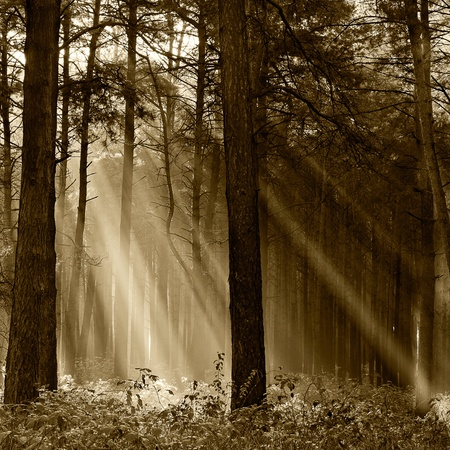 Coniferous forest illuminated by the morning sun on a foggy autumn day. Vintage photo