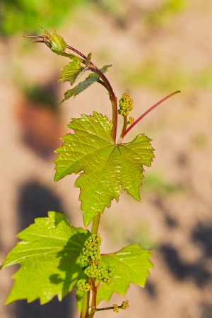 Spring buds sprouting on a grape vine in the vineyard Stock Photo