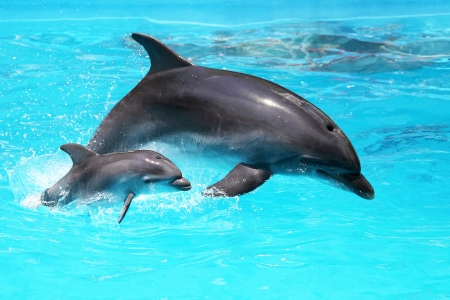 picada: Dos delfines nadan en la piscina