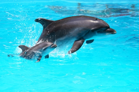 dolphin: Two dolphins swim in the pool