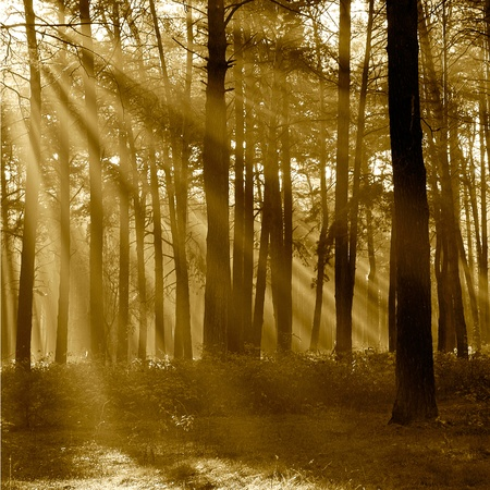 The sun's rays breaking through the trees in the pine forest in autumn season  photo