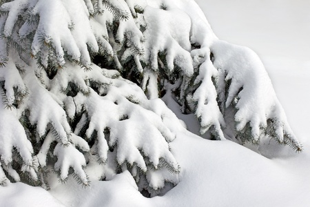 Spruce branches covered with white snow photo