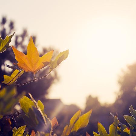 fall line: Autumn foliage illuminated by sunlight  Vintage color toned image