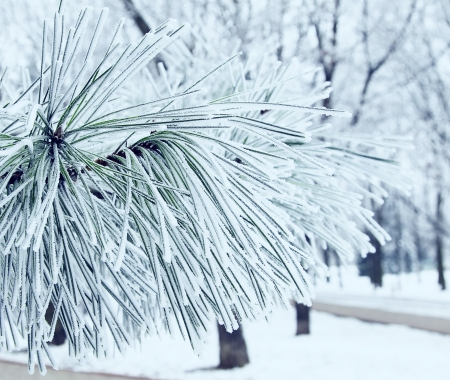 Pine tree covered with hoar frost close-up, cold winter day  Toning  photo