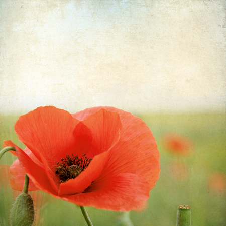 Vintage floral with poppy flowers on a brown old paper grunge, for any of your project  photo