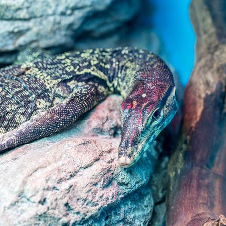 lizard in field: Cabeza de lagarto monitor de agua (Varanus salvator) de cerca y con muy poca profundidad de campo