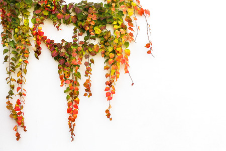 Red ivy creeper leaves on the white wall of a building  Stok Fotoğraf