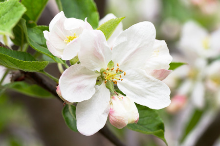 crab apple tree: apple blossoms in spring on white background. Soft Focus