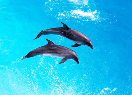 Dolphins jump out of the clear blue water of the pool closeup  photo