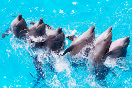 group of dolphins swimming in the clear blue water of the pool closeup  photo