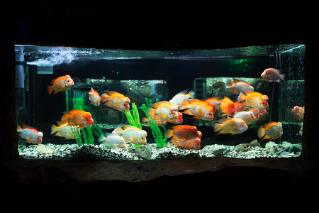 cichlids: The underwater world. Bright Exotic Tropical coral fish in the Red Sea artificial environment of the aquarium with corals and algae aquatic plants Stock Photo
