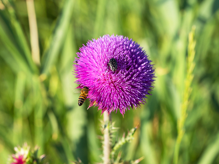 viability: Beautiful bright flower thistle. Bees pollinate the flowers, collect nectar and pollen from flowers. Selective focus, space in the zone blurring compositions for the production of advertising.