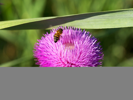 pollinate: Beautiful bright flower thistle. Bees pollinate the flowers, collect nectar and pollen from flowers. Selective focus, space in the zone blurring compositions for the production of advertising.
