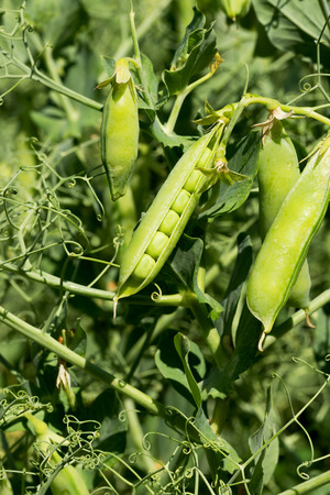 Closeup authentic of mature pods of peas growing in garden before the harvest photo