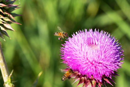 pollinate: Beautiful bright flower thistle. Bees pollinate the flowers, collect nectar and pollen from flowers.